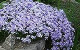 Creeping Phlox subulata - EMERALD BLUE - (3) Live Hardy Perennial Flower Plants
