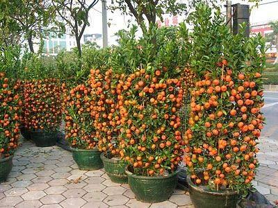 12 Live Plants Tangerine Trees''Farmer Pack'' Very Rare Fresh by Ginger (Image #1)