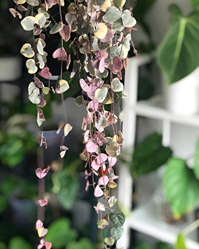 (Go Garden 100Pcs Ceropegia Woodii Seeds/String of Hearts/Hardy Vining Succulent Plant)
