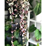 Go Garden 100Pcs Ceropegia Woodii Seeds/String of Hearts/Hardy Vining Succulent Plant
