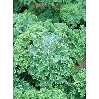 Kale Seeds -'Siberian Dwarf' (40 Seed Pack) : Garden & Outdoor