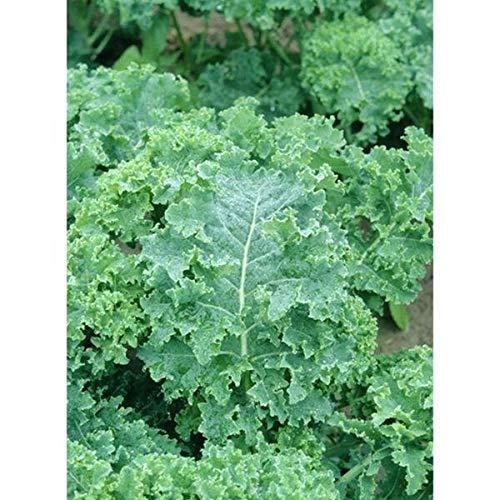 Kale Seeds -'Siberian Dwarf' (20 Seed Pack)