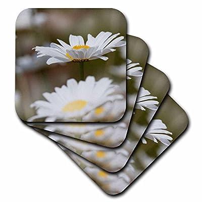 3dRose Danita Delimont - Flowers - Oxeye Daisy, Leucanthemum vulgare, Louisville, Kentucky - Coasters