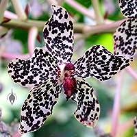 PlenTree 100pcs / Bolsa de numerosos Colores Orquídea Bonsai diversas Especies de orquídeas para la Venta Hogar y jardinería Caliente: Claro