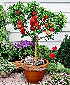 15 Seeds Dwarf Peach Fruit Tree Indoor/Outdoor