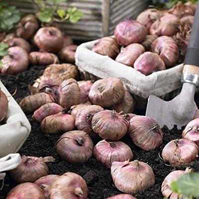 Gladiolus bulbs, Purple Mixture (15 Bulbs) Summer flowering, Perennial : Garden & Outdoor