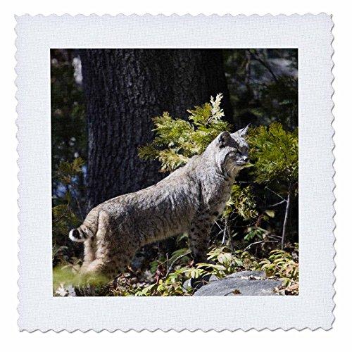 (3dRose qs_88449_10 Bobcat Wildlife, Yosemite National Park, California-Us05 Jgs0111-Jim Goldstein-Quilt Square, 25 by 25-Inch)