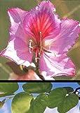 TROPICA - Orchideen-Baum (Bauhinia variegata) - 8 Samen