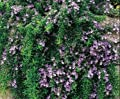 """Clovers Garden Trailing Rosemary Herb Plant – Non-GMO - Two (2) Live Plants - Not Seeds - Each 3""""-7"""" Tall - In 3.5 Inch Pots – Prostrate Creeping Rosemary"""