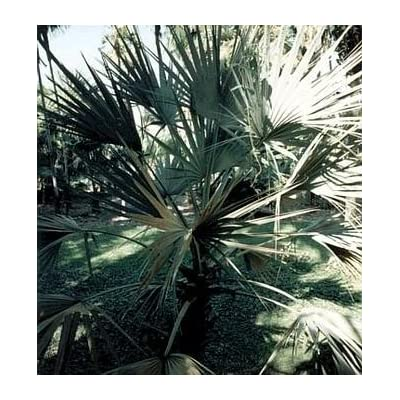 Silver Mazari Palm 10 Seeds - Nannorrhops ritchienana : Fruit Plants : Garden & Outdoor