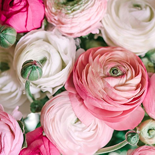 Ranunculus Pastel Mix - Persian Buttercup Bulbs (Not Seeds) - 20 XL Bulbs - 8+ -