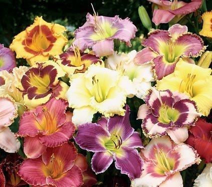 Daylily Plant ((PLID)~