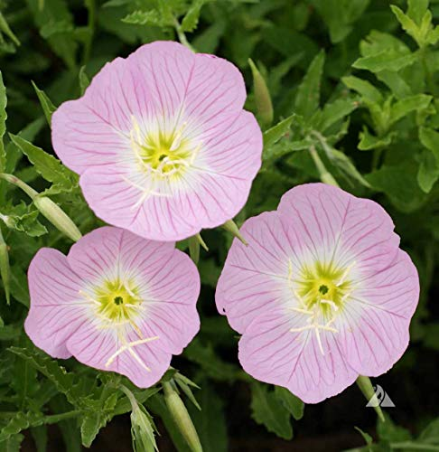David's Garden Seeds Flower Primrose Showy American Native SL7811 (Pink) 500 Open Pollinated Seeds ()