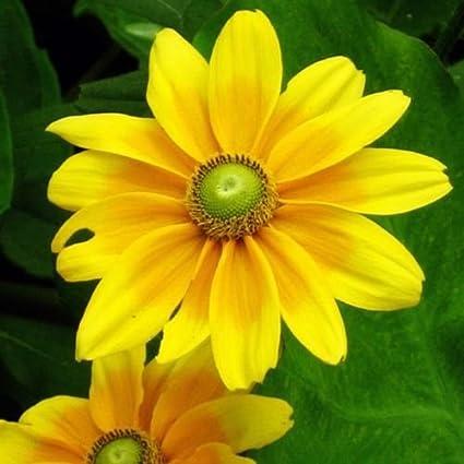 Amazon rudbeckia green eyes 150 seeds striking bright yellow rudbeckia green eyes 150 seeds striking bright yellow flowers with green center mightylinksfo