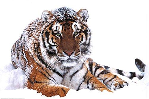 Studio B �Siberian Tiger Poster