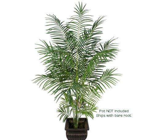 Tropical Areca Palm Tree - 2
