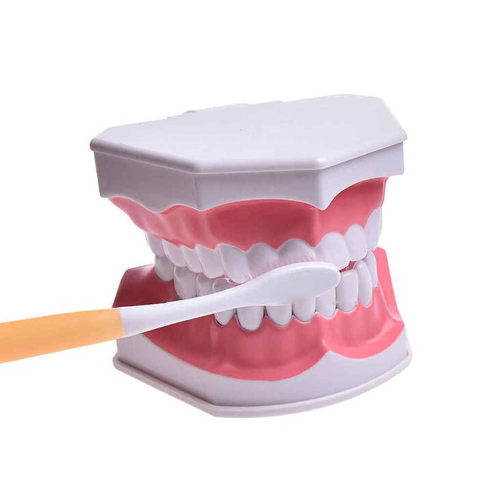 Wecando Dental Tooth Brushing Model for Teaching Demo Equipment with Removable Lower Teeth Educational Materials Dentist Tool