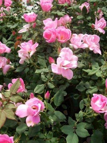 Blushing Knock Out Blush Pink Rose 2 Gal Shrub Plants Disease Resistant Roses !