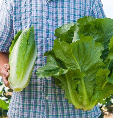 Romaine Hearts (David's Garden Seeds Lettuce Sparx Romaine Heat Tolerant D3156A (Green) 500 Open Pollinated)
