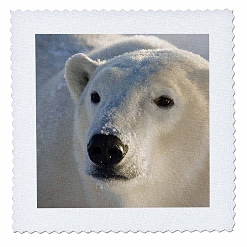 3dRose qs_70235_1 Canada, Manitoba, Hudson Bay, Churchill. Polar Bear-CN03 BJA0026-Janyes Gallery-Quilt Square, 10 by 10-Inch