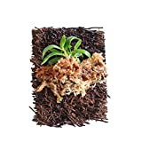 BLOOMIFY Mounted Miniature Orchid - Haraella retrocalla - Wrapped with Long Fiber Sphagnum Moss - 3'' mount