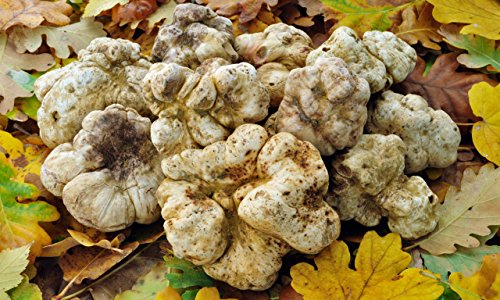 Spores White Truffle Mushrooms Mycelium Spawn Dried Seeds Kit for Planting Non GMO 0.25 oz (Best Magic Mushrooms To Grow At Home)