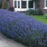Outsidepride Lavender Munstead - 2000 Seeds