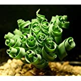 (LSG *Ambizu*) New Latifolia Spring Grass 20pcs Kk Bonsai Seed Albucanamaquensis Succulents Seeds