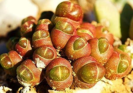 Amazon Com Seeds Oophytum Nanum Rare Living Stones Mesembs Rock