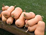 20+ Squash Seeds- Waltham Butternut- Heirloom Variety