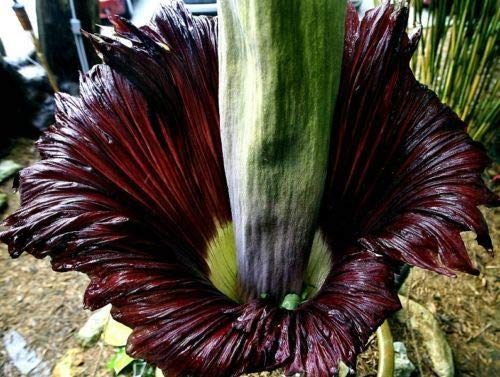 10 Corpse Flower Seed Titan Arum Biggest Flower in The World Garden Plant Exotic (Corpse Plant)