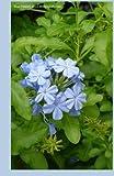 Blue Flowers 2015 Weekly Calendar: 2015 week by week calendar with a cover photo of blue wildflowers by K Rose (2014-09-16)