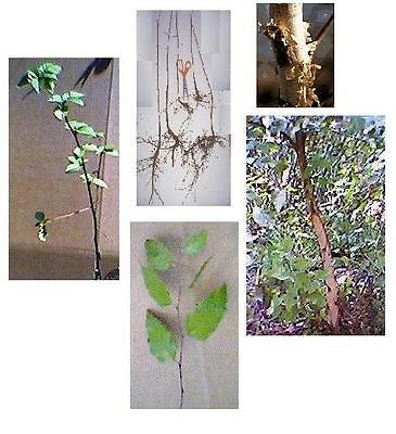 (River Birch Tree, 16+in, White Bark, Fast Growing Hardwood, Bareroot - Ships Now)
