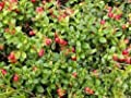 Vaccinium Vitis-idaea 'koralle' - Lingonberry - Starter Plant - Approx 3-5 Inch