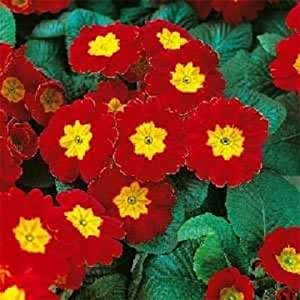 15+ Red Acaulis Primula Primrose / Perennial Flower Seeds