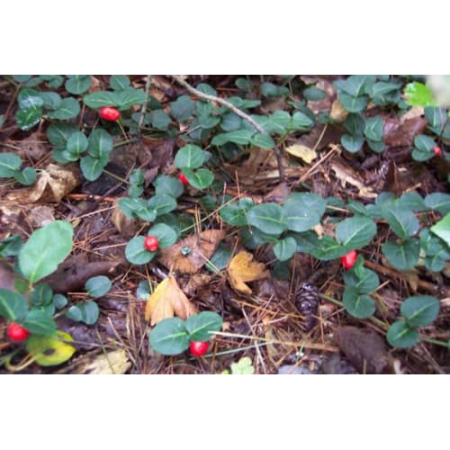 PARTRIDGE BERRY 50 live root cuttings Evergreen Shade low growing ground cover