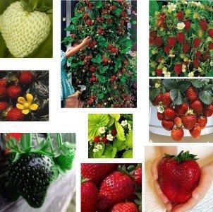Erdbeere Samen Mischung Sammlung 10 Pakete 10 Sorte 100 Samen
