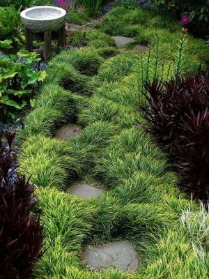 [Classy Groundcovers - Ophiopogon japonicus (Mondo Grass, Japonica, Monkey Grass, Lilyturf, Japanese Snake's Beard, Kyoto, Compactus Mondo Grass) {24 Pots - 3 1/2] (Japanese Beard)