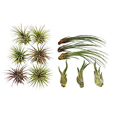 Cheap Fresh Air Plant Variety Pack - 3-7 Inches Large - Bulk - Wholesale - Tillandsias Get 12#HPS01YN : Garden & Outdoor