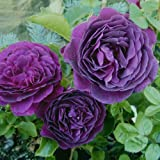 Ebb Tide Rose Bush 4 Inch Container Grown Organic USA Fragrant Purple Rose