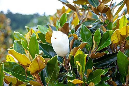 Bracken's Brown Beauty Magnolia (4-5 feet) Live Plant, Includes Special Blend Fertilizer and Planting Guide - Fragrant White Flowers - Compact Accent Tree by PERFECT PLANTS (Image #4)