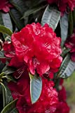 Rhododendron'Red Jack' 30-40cm Tall In 5L Pot, Stunning Ruby-Red Flowers 3fatpigs