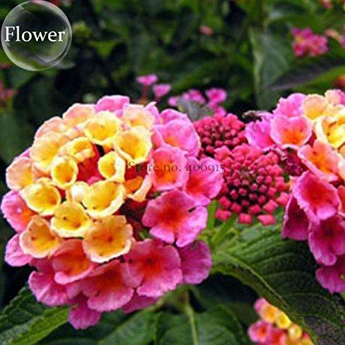 2018 Hot Sale Pink Yellow Lantana Camara Perennial Flowers, 10 Seeds, Christine' Shrub Verbenas Ham and Eggs Butterfly Garden -