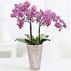 100 semillas / paquete siembra japonesa Radiata garza blanca Orquídea Semillas del mundo rara orquídea especies blancas Flores Orquídea Jardín de Plantas de color amarillo claro