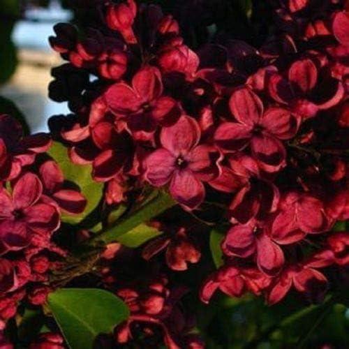 25 Semillas Rojo Lila árbol fragante Hardy perenne de flores Jardín de arbustos árbol de la planta: Amazon.es: Jardín
