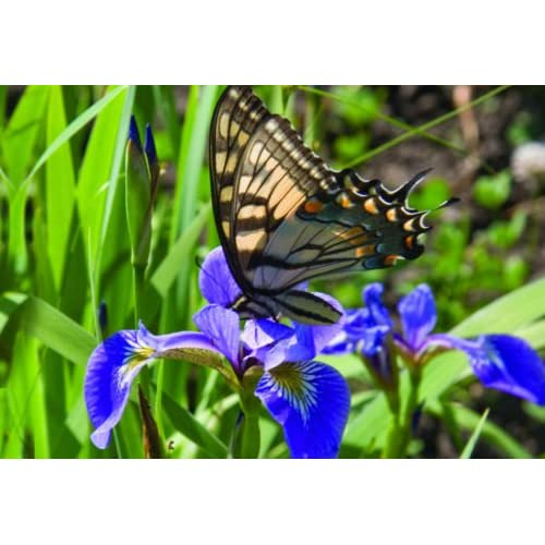 BLUE FLAG IRIS 2 live plants/ Sprouted Rhizomes ~Pond ~Water Gardens, ~Hardy