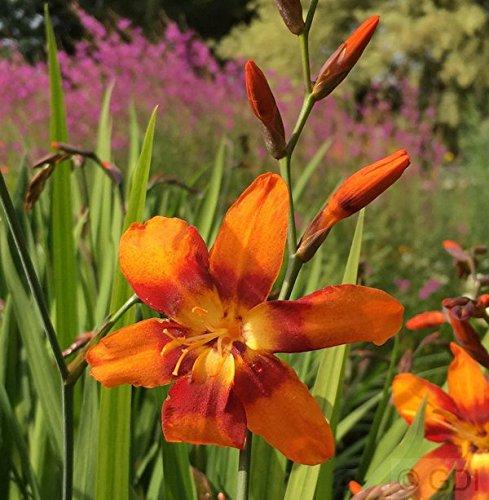 Crocosmia masoniorum Garten Monbretie Emily Mc Kenzie