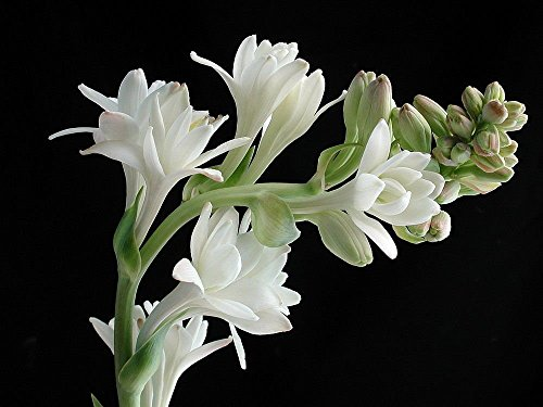 Double Pearl Tuberose 10 Bulbs – Fragrant – Polianthus tuberosa – Indoors or Out