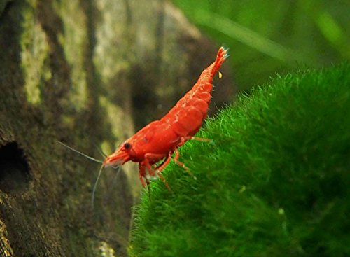 12 Live Sakura Fire Red Cherry Shrimp (Neocaridina davidi) - Breeding Age Young...