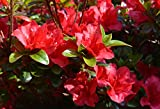 Azalea Rhododendron 'Vivid' Red Qty 40 Live Flowering Evergreen Plants